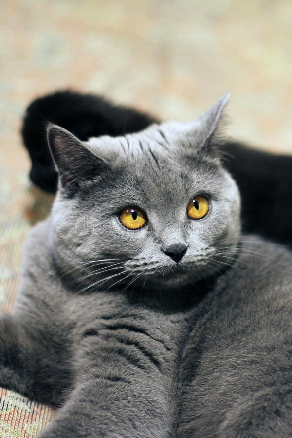 Cat with beautiful eyes close up.  royalty free stock images