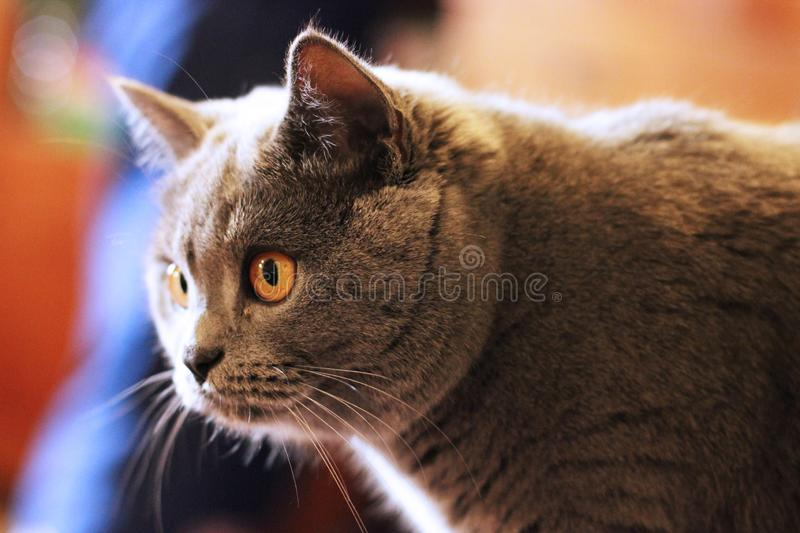 Cat with beautiful eyes close up.  stock photography