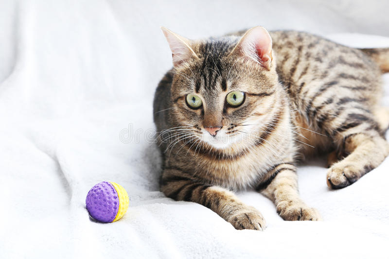 Cat. Beautiful cat on the grey plaid royalty free stock photography