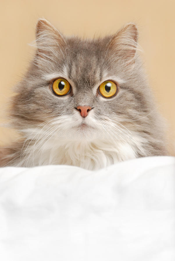 Download Cat on bed stock photo. Image of hair, kitten, adorable - 12591020
