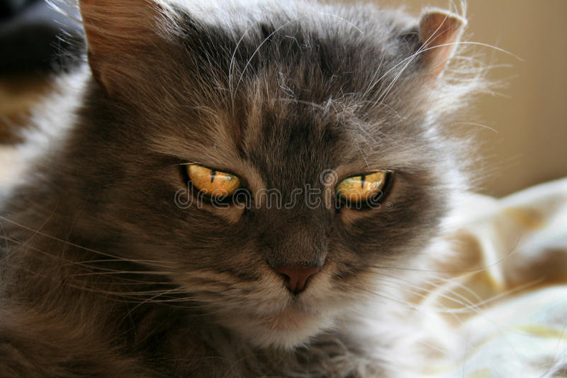 Download Cat on a bed stock image. Image of gold, sitting, dark - 16632839