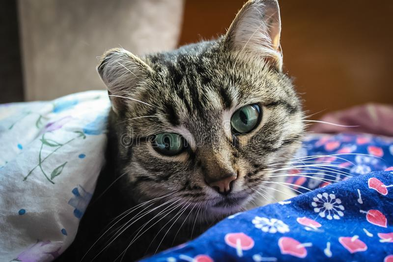 Cat in bed, Getting ready to sleep, or waking up. Indoor royalty free stock photo