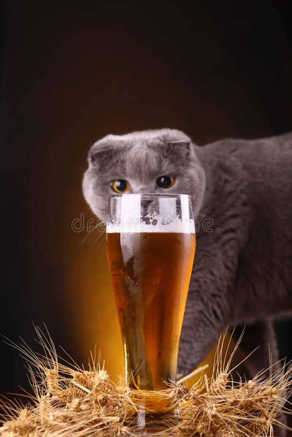 Cat and beer. Scottish fold cat checking out a glass of light beer royalty free stock photo