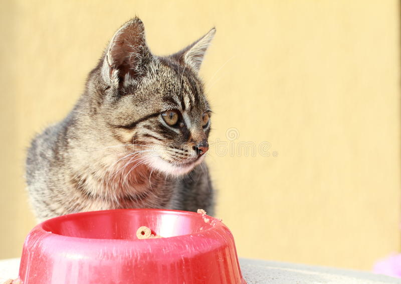 Download Cat behind food stock photo. Image of kitty, tabby, bowl - 25880050