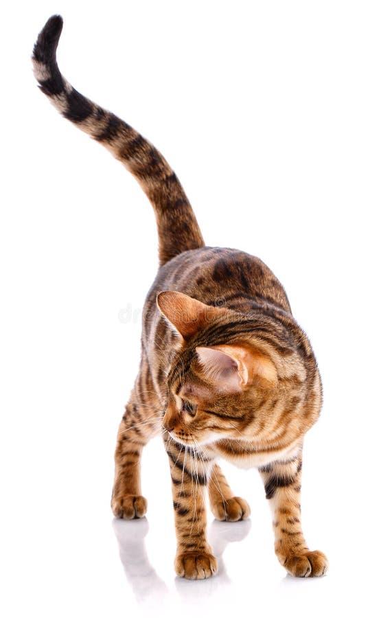 Cat Bengal Breed photo libre de droits