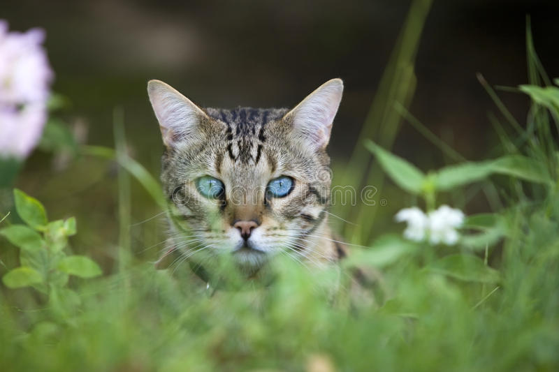 Cat - Bengal looking out royalty free stock photography