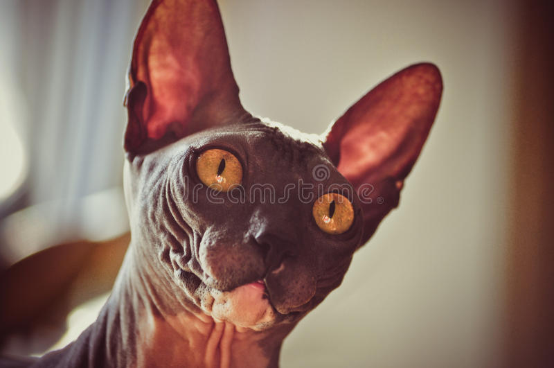Download Cat With Big Eyes And Ears Royalty Free Stock Photos - Image: 21291728