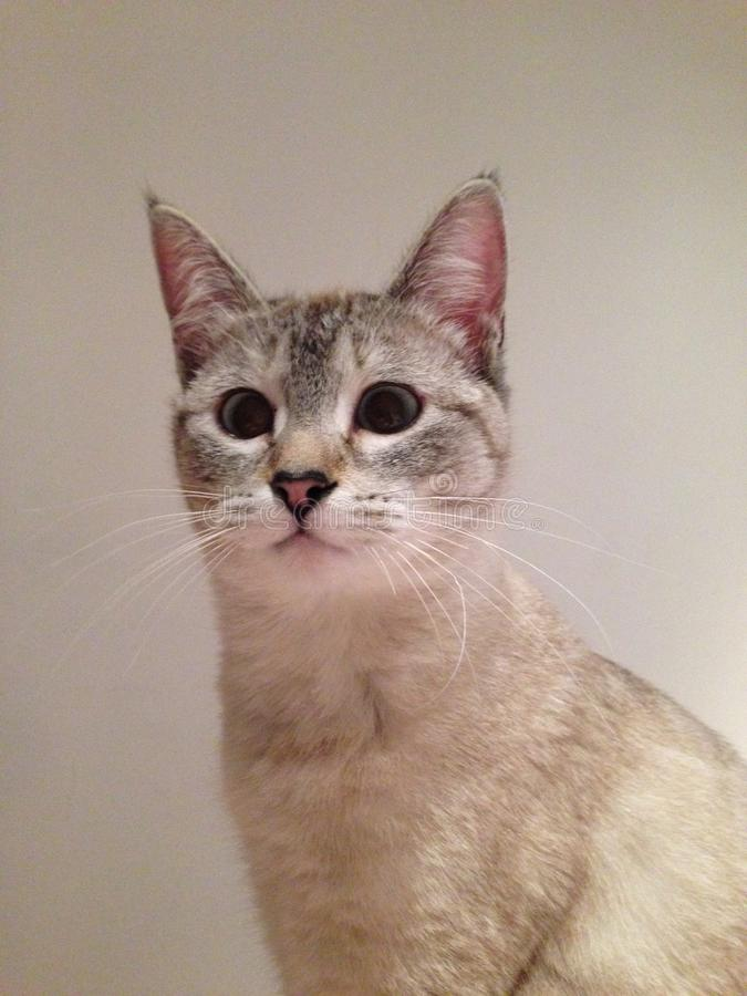 Cat with big eyes royalty free stock photos