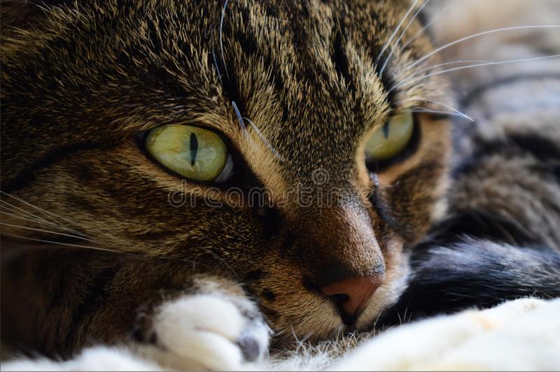 Cat with big golden eyes. Closeup cat face. Cat feet`s pillow. Beautiful cat with big yellow, old eyes. Faded, soft light in cat`s eye closeup. Cat`s wild look stock photo