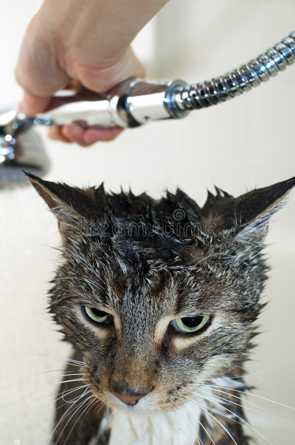 Cat bimonthly shower. Tabby cat taking a bath in a bathtub
