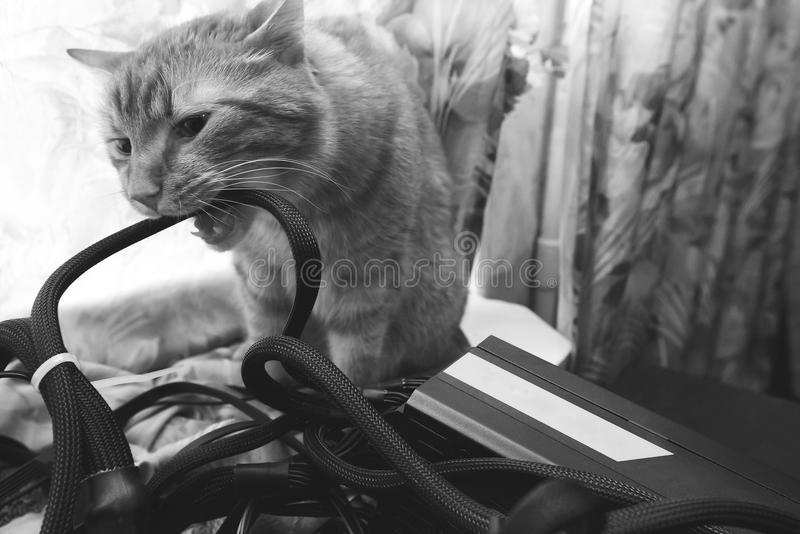 Cat Bite the Wires. Cat tries to Bite the Wires on Mining Computer Open Stand royalty free stock photography