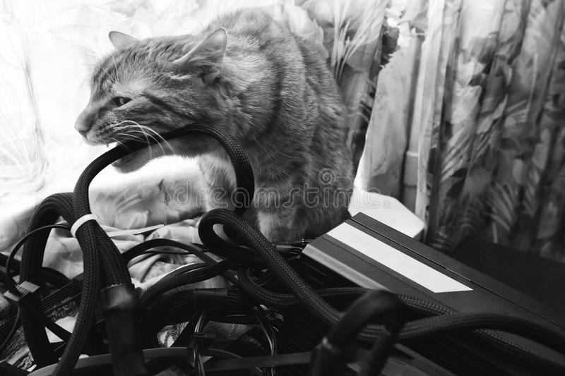 Cat Bite the Wires. Cat tries to Bite the Wires on Mining Computer Open Stand stock photo