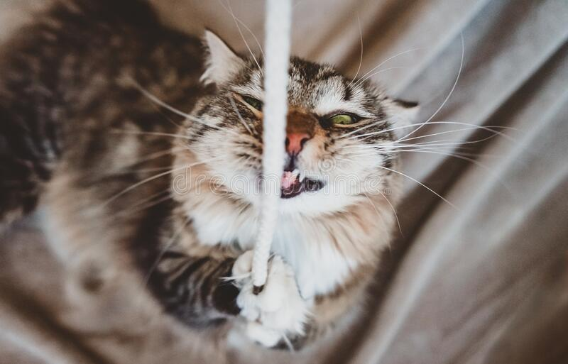 The cat bites the wires and looks at the camera royalty free stock image