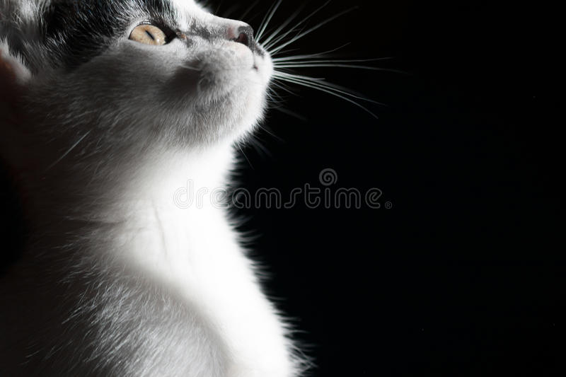 Cat on black background. Close up. stock photo