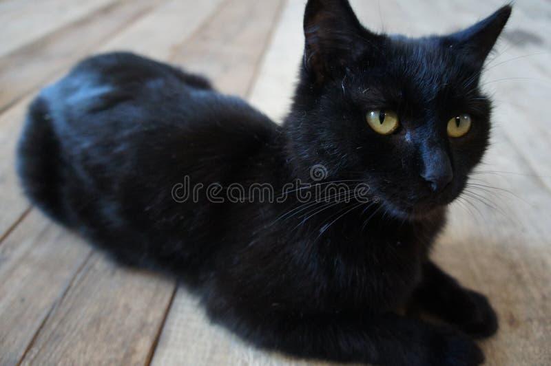 Cat, Black Cat, Black, Mammal royalty free stock image