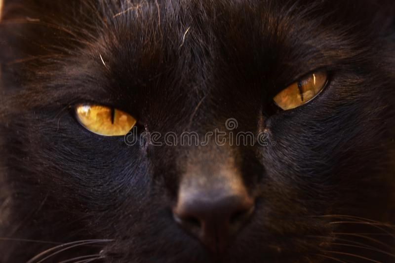 Cat, Black Cat, Face, Whiskers royalty free stock photo