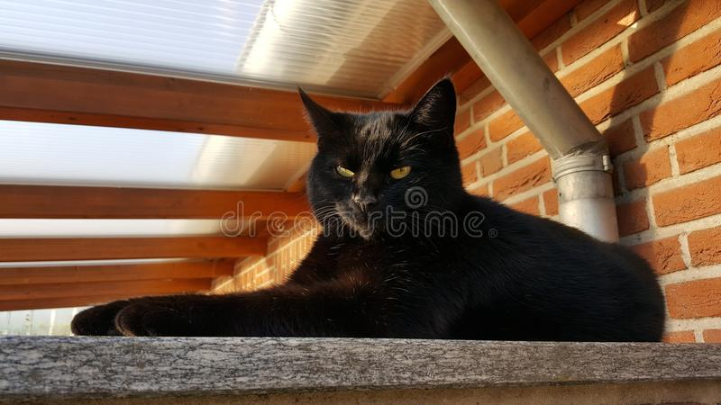 Cat, Black Cat, Small To Medium Sized Cats, Cat Like Mammal royalty free stock photography