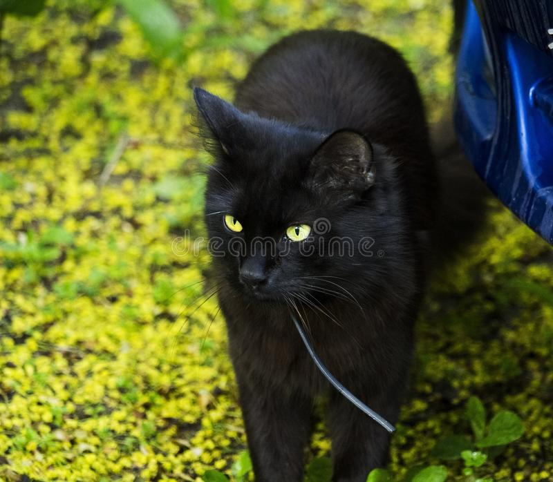 Cat, Black Cat, Whiskers, Mammal royalty free stock images