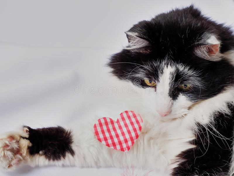 Cat black white with red heart. Cat pet black white green eyes laying dawn with red heart white background stock image
