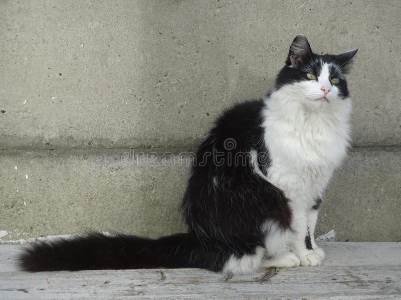 Cat in black white sitting on wood and concrete background. Cat in black and white sitting on wood painted white and a concrete background stock image