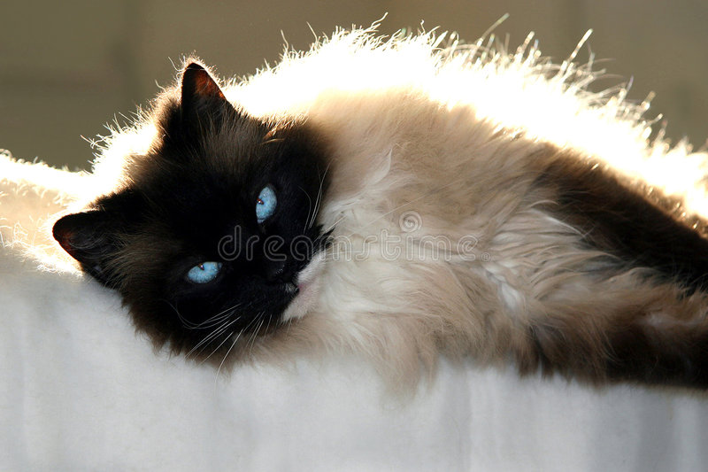 Download Cat on blanket stock photo. Image of seal, siamese, backlight - 1294128