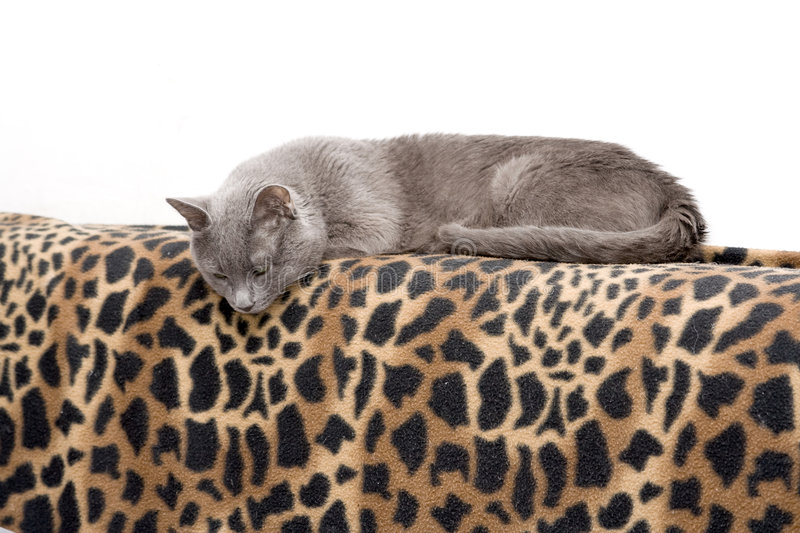 Download Cat on blanket stock photo. Image of cute, domestic, hairy - 5585474