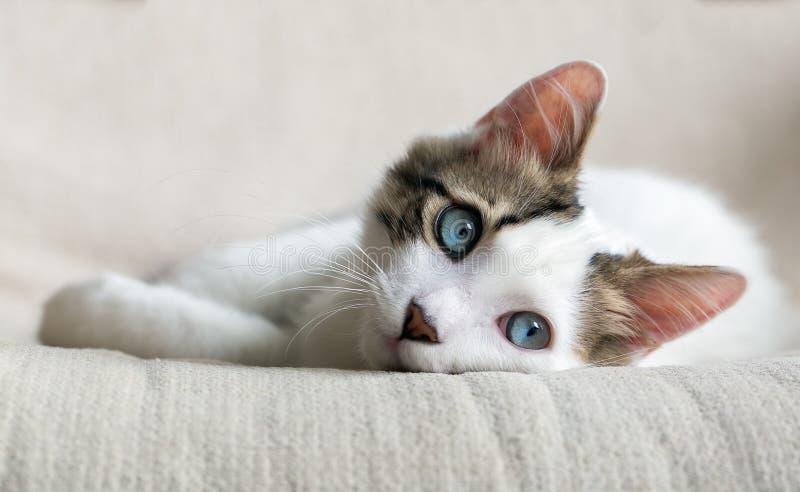 Cat. Blue Eyed Cat; baby cat stock photo