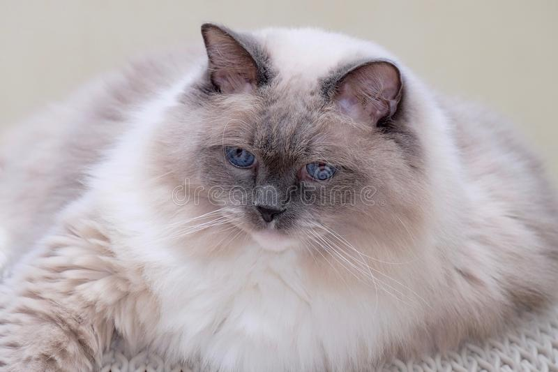 Cat blue eyed. stock photography