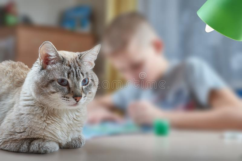 Cat with blue eyes lies. On the table behind which the boy sits and draws stock photo