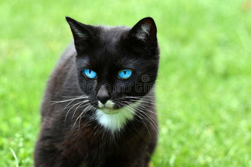 Cat with blue eyes. Portrait of a black cat with blue eyes royalty free stock photo