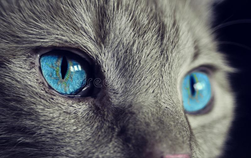 Cat, Blue, Whiskers, Face stock photos