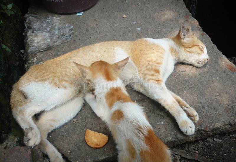 Cat Breastfeeding Her Kitten lizenzfreies stockfoto