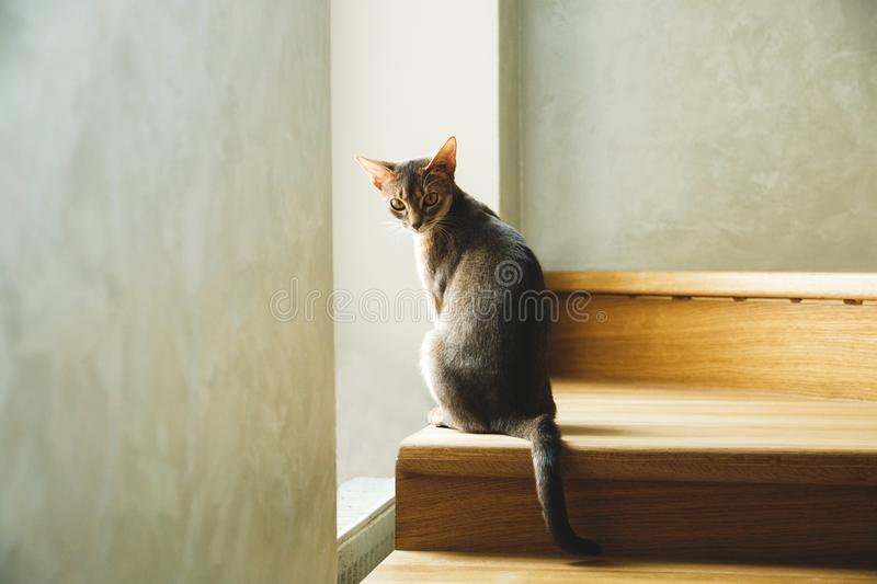 Cat breed Abyssinian sitting on the stairs near the window royalty free stock image