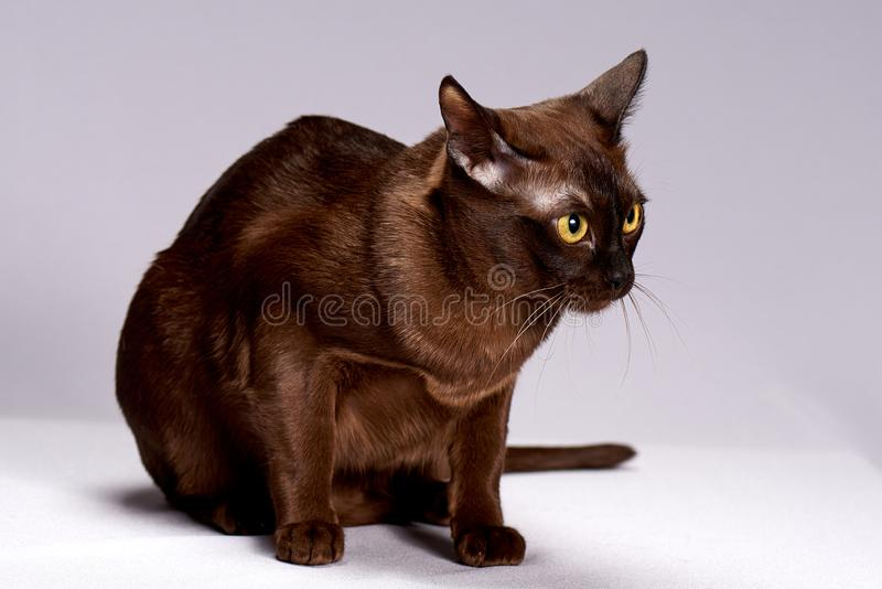 Cat breed Burma on a light background. Cat breed Burma, beautiful eyes stock photography