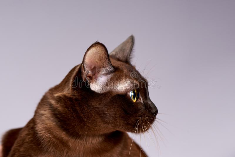 Cat breed Burma on a light background. Beautiful eyes stock image