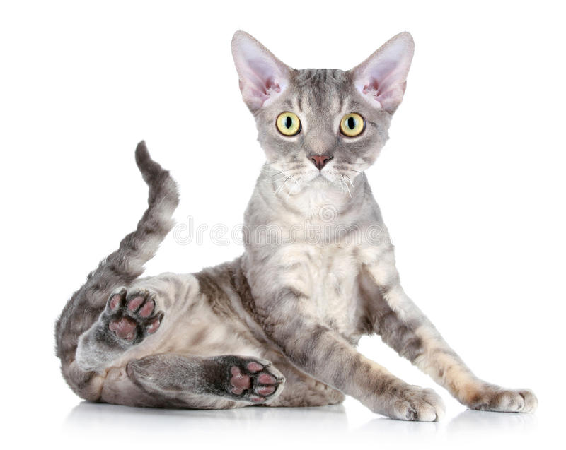 Cat breed Devon Rex. Funny cat breed Devon Rex sitting on a white background stock photos