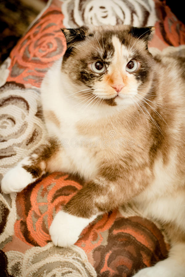 Cat breed of lop-eared close up. With unfriendly muzzle stock photo