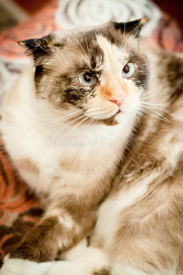 Cat breed of lop-eared close up. With unfriendly muzzle stock image
