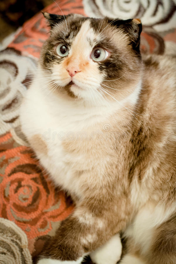 Cat breed of lop-eared close up. With unfriendly muzzle stock images