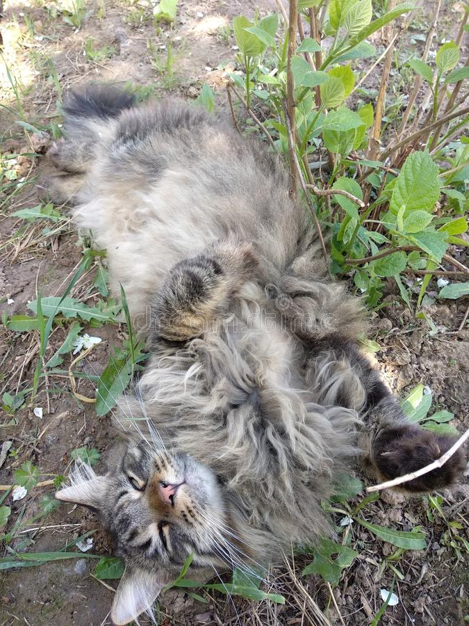 Cat breed Maine Coon in nature.  Photos of a cat in the flowers of currants and in the grass.  Very big cat. stock images