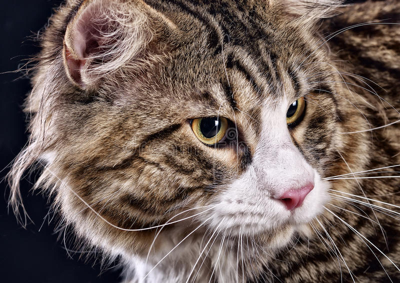 Cat. Breed - the Maine Coon royalty free stock image