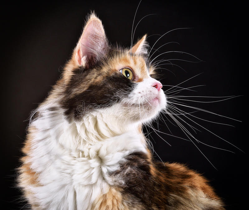 Cat. Breed - the Maine Coon stock photos