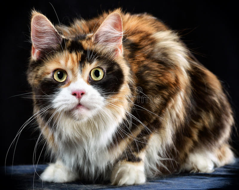 Cat. Breed - the Maine Coon royalty free stock images