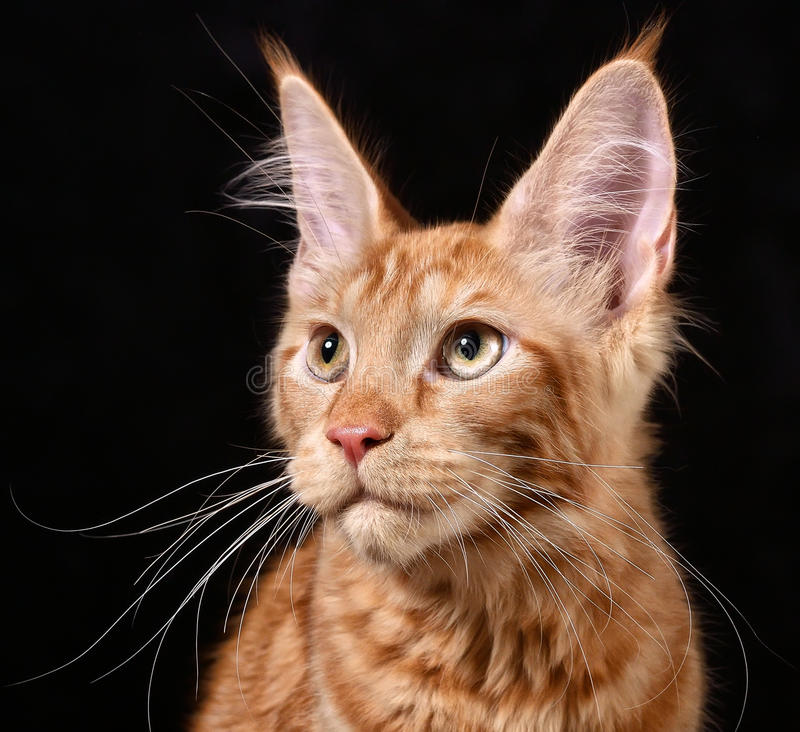 Cat. Breed - the Maine Coon stock image