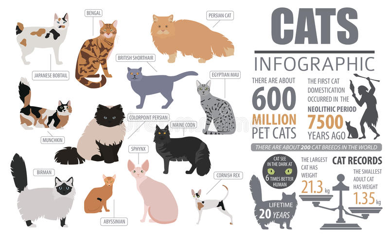 Cat breeds infographic template, icon isolated on white stock illustration