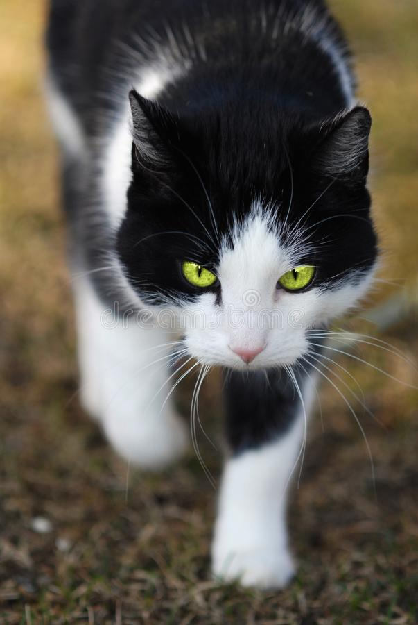 Cat with bright green eyes. Stalking and hunting prey royalty free stock image