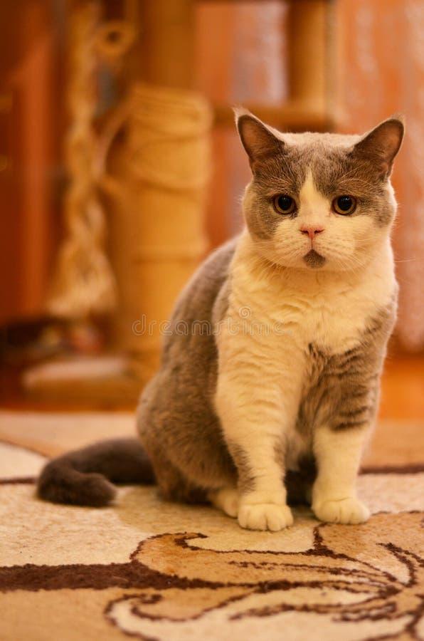 Cat British bicolor foto de stock