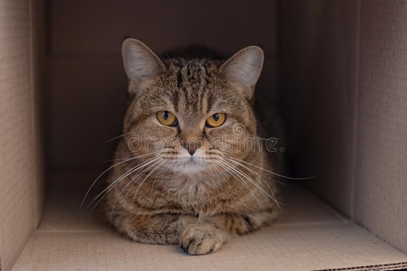 Cat British breed in the cardboard box royalty free stock images