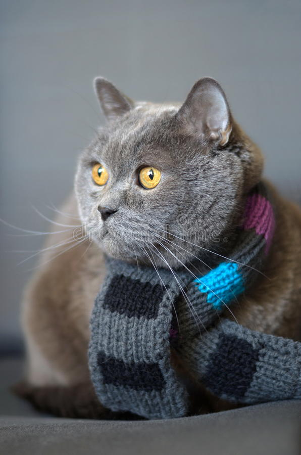 Cat British breed stock photos