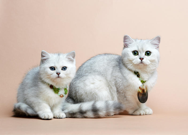 Download Cat Of The British Breed. Rare Coloring - A Silver Stock Photo - Image: 25552876
